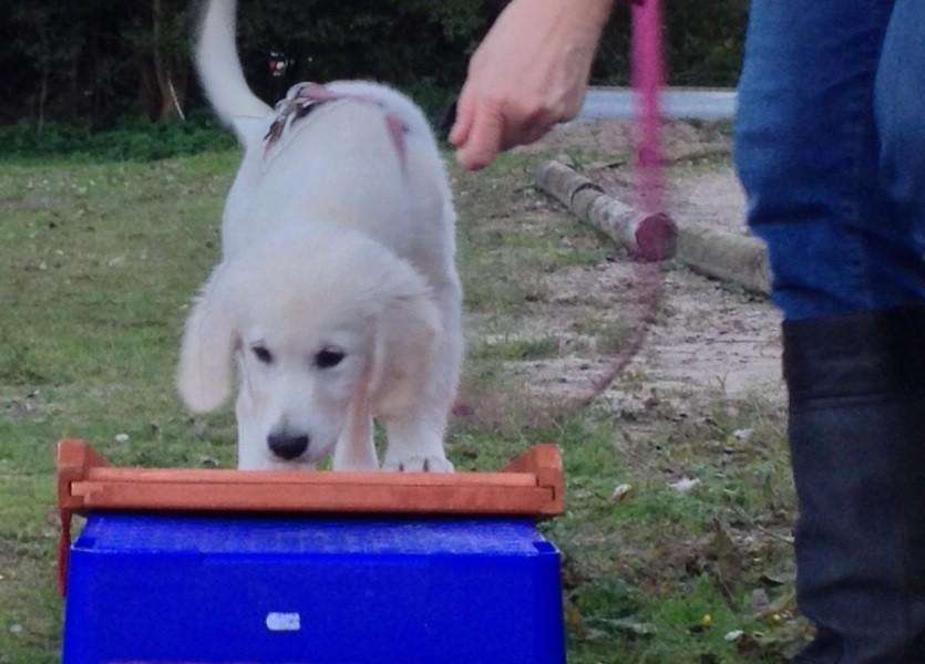 Indy op puppycursus Den Haag